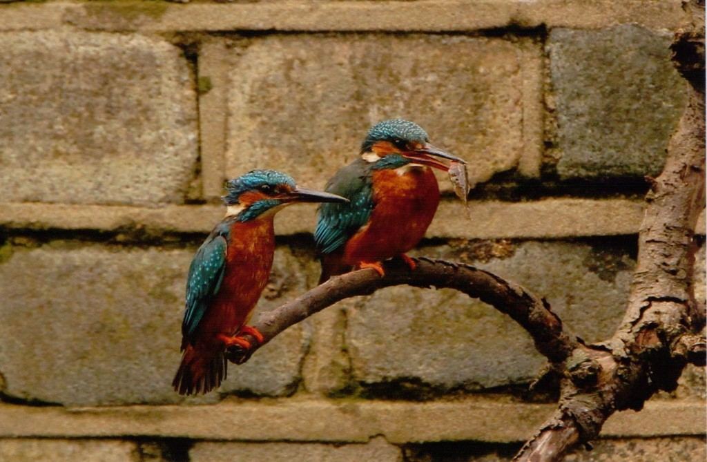 Pair of Kingfishers