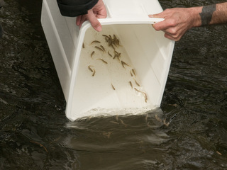 Trout fry release