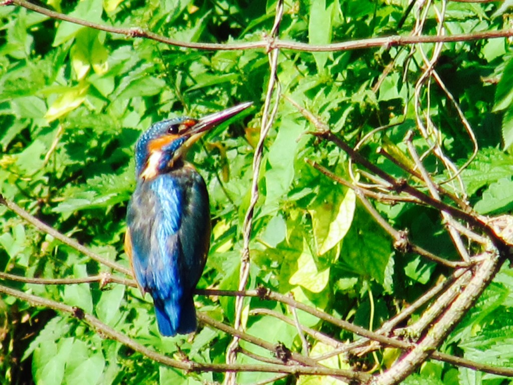 One of five Kingfishers spotted on the Wandle