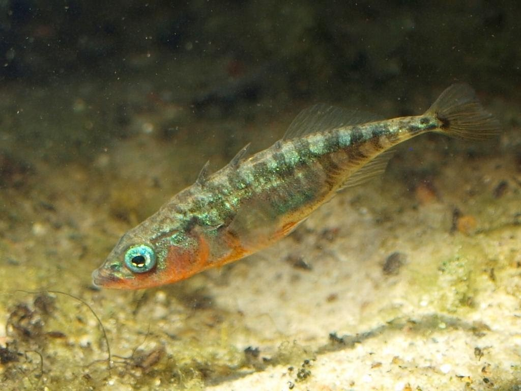 Stickleback as male